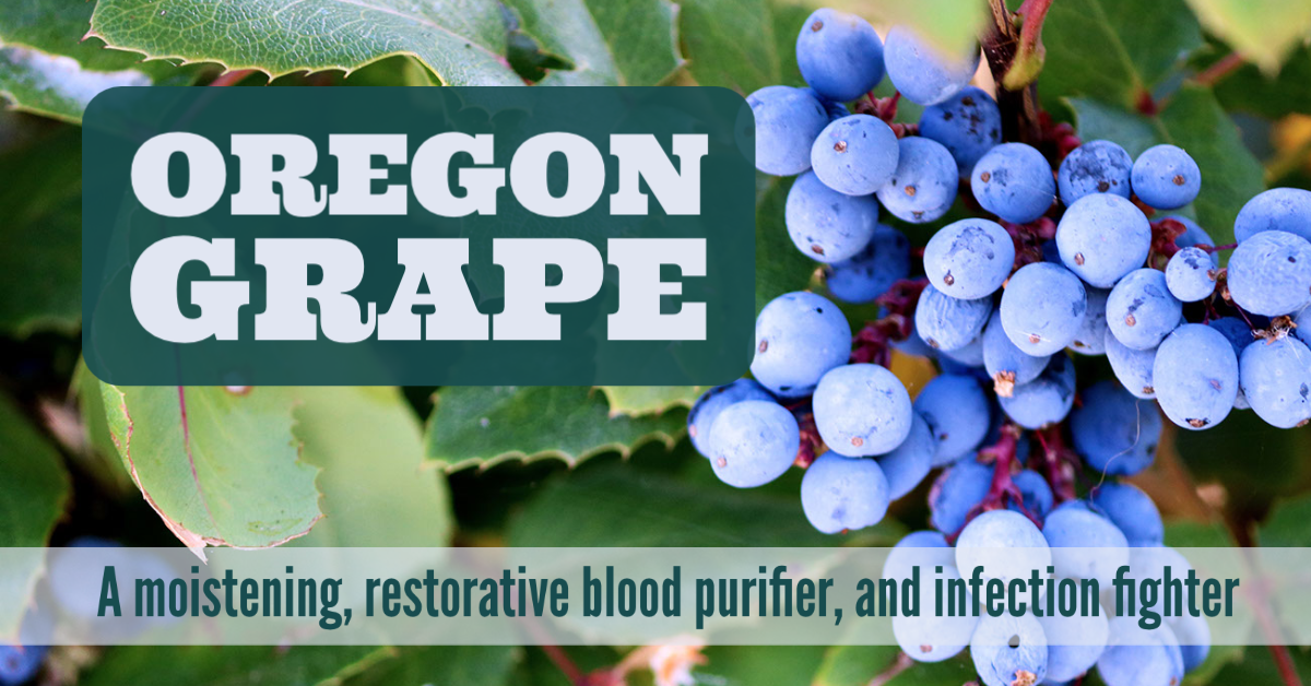 Oregon Grape: A moistening, restorative blood purifier, and infection fighter