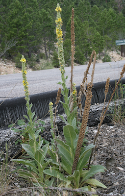 Mullein Plants with dried stack by Steven Horne