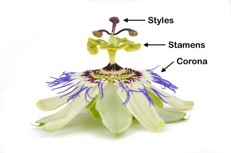 Passion Flower Parts