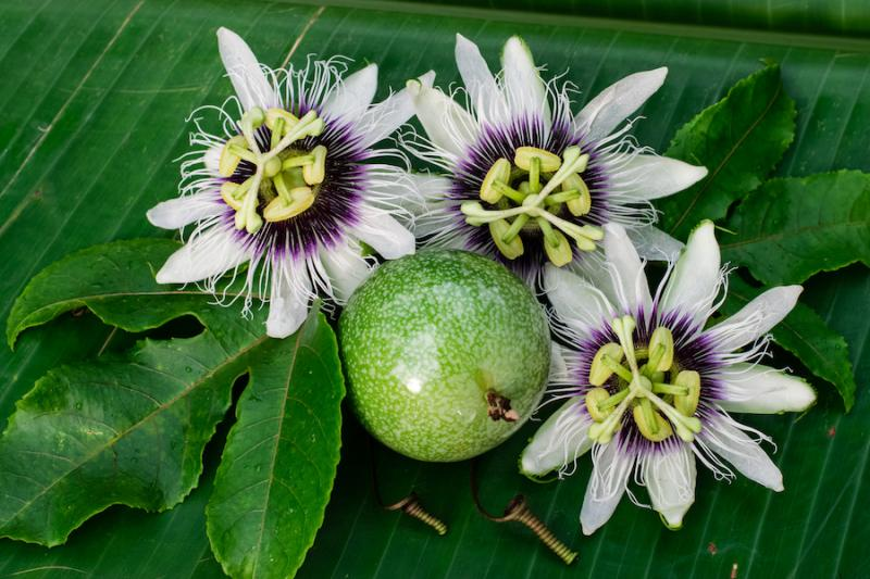 Passionflower flowers and fruits