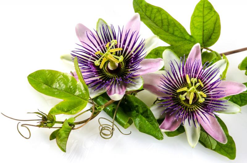 Passionflower (Passiflora incarnate)