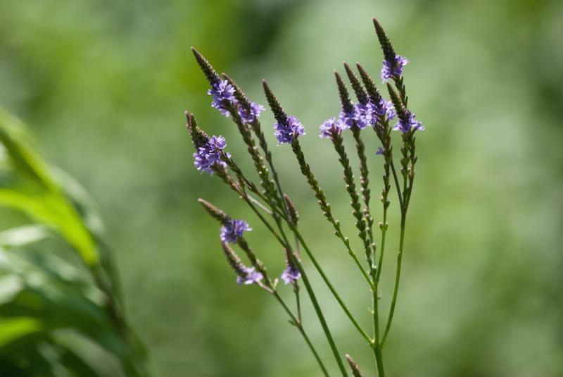 Blue Vervain (Verbena hastata) Inflorescence