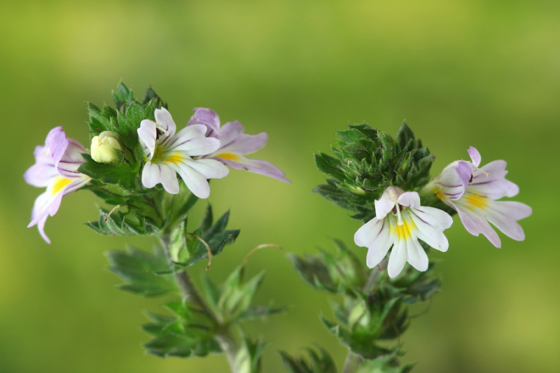 Eyebright from Adobe Stock