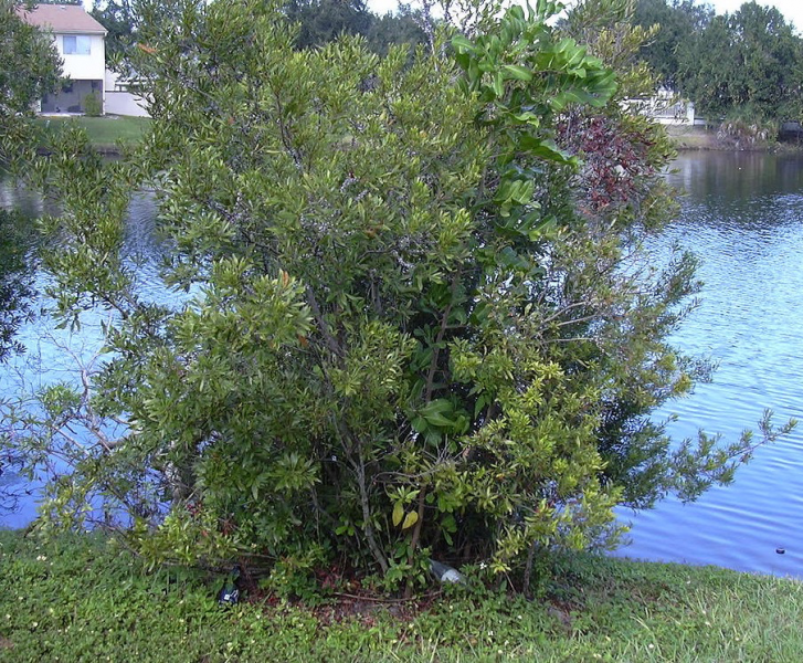 Bayberry bush