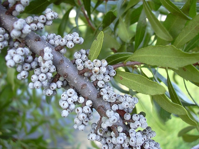 Bayberry fruits and leaves
