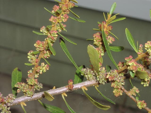 Bayberry male flowers
