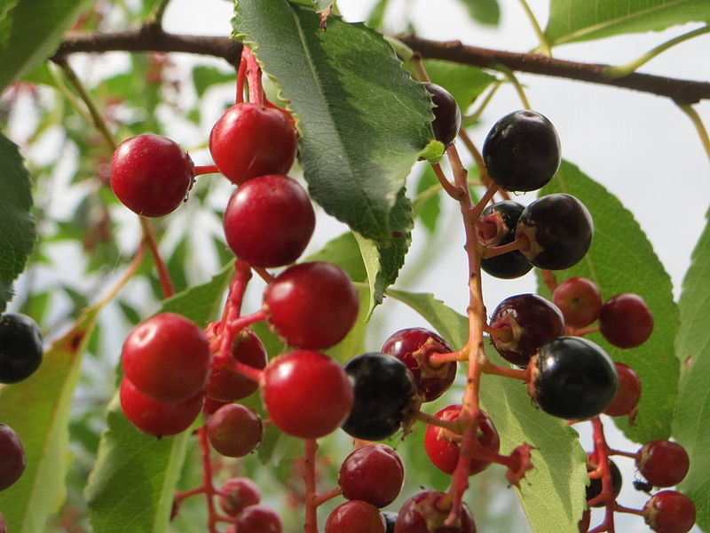 Wild cherry fruits (Prunus serotina)