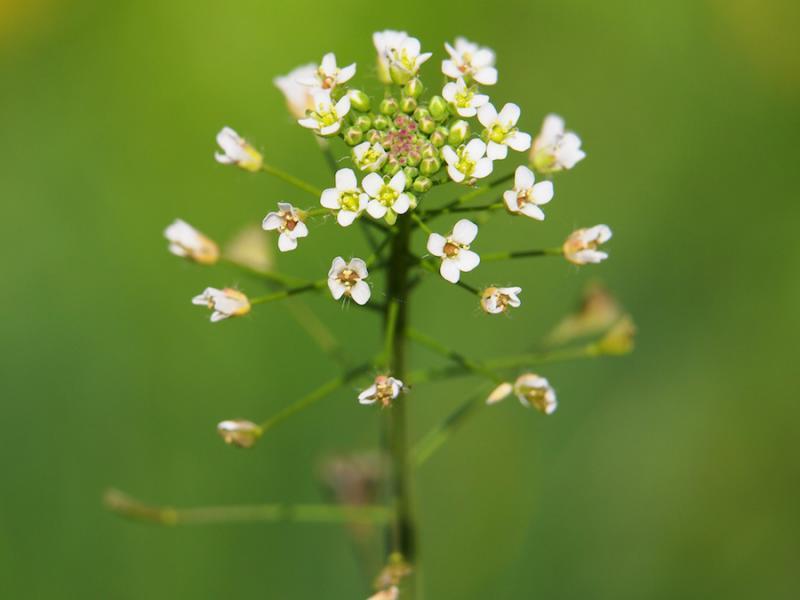 Shepherd's Purse Flowers