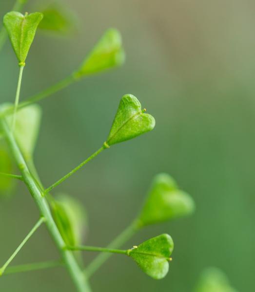 Shepherd's Purse Seed Pods