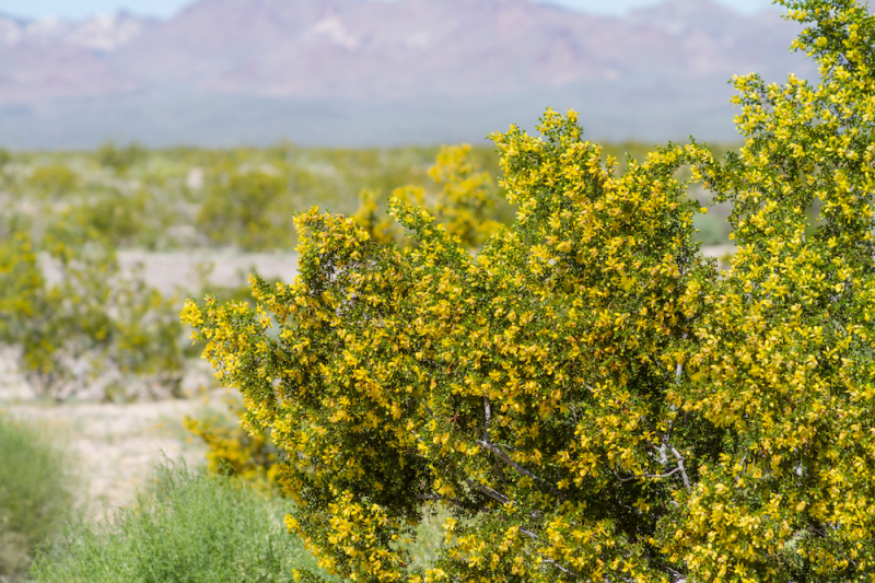 Chaparral Bush with Flowers