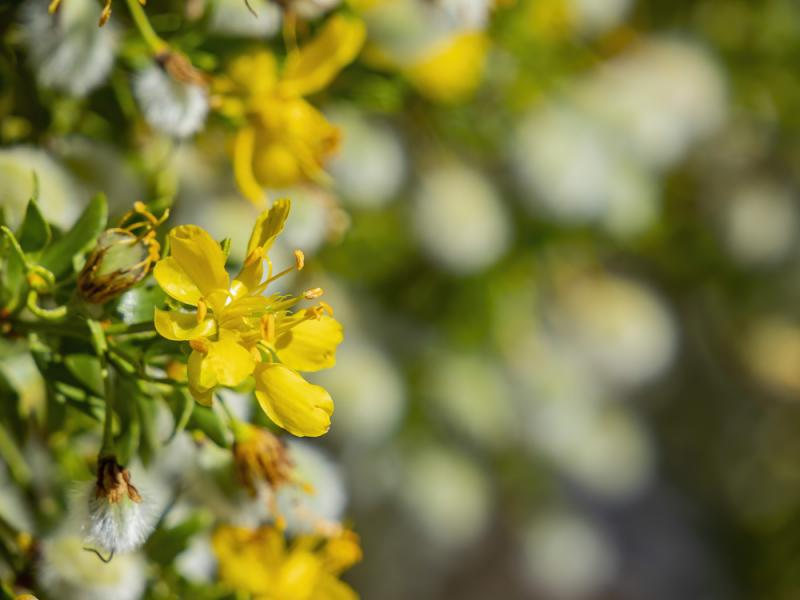 Yellow Chaparral Flowers