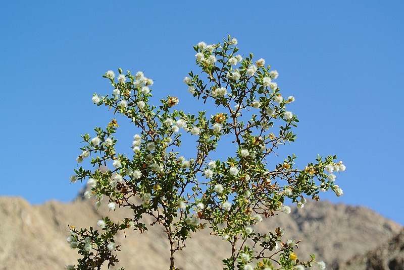 White Chaparral Flowers