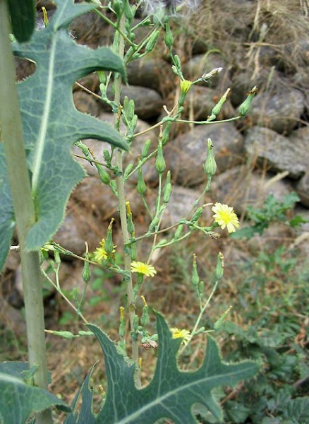 Wild Lettuce with Flowers