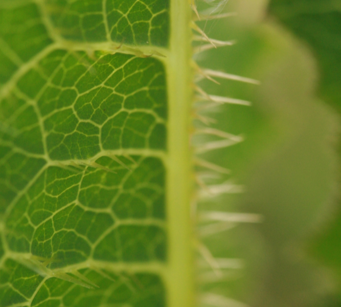 Spiky Hairs on Wild Lettuce