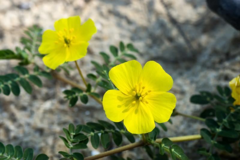 Punucture Vine/Tribulus flowers