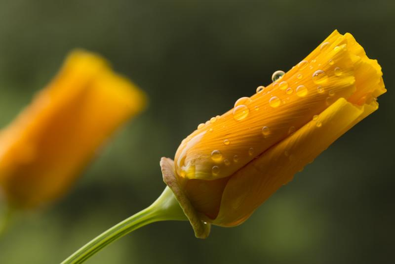 California poppy bud