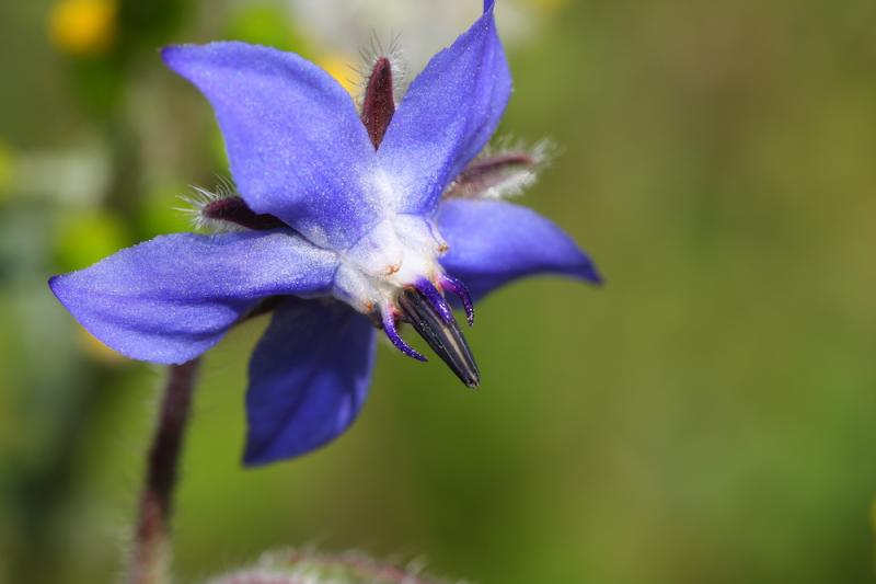 Blue borage flower