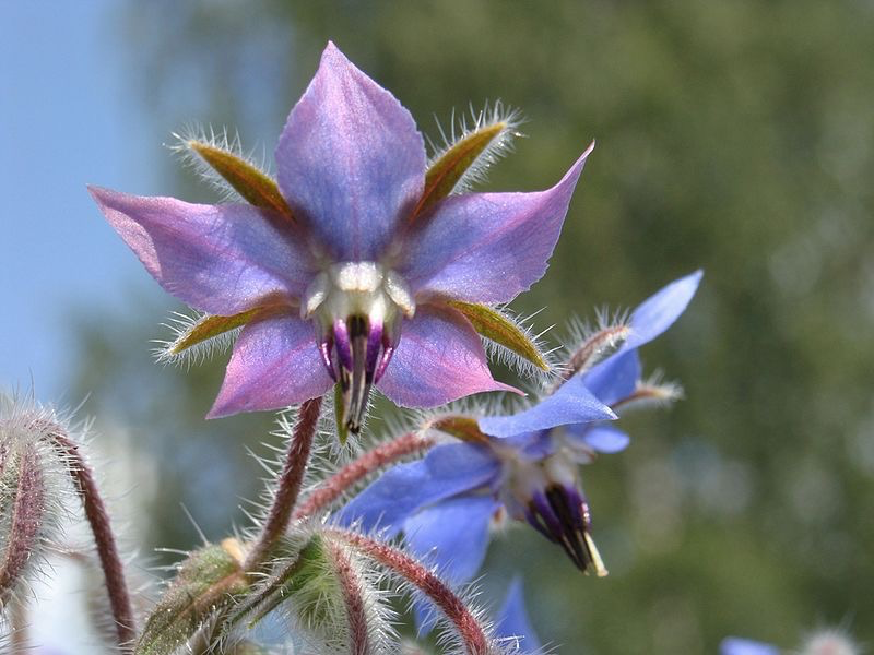 More borage flowers