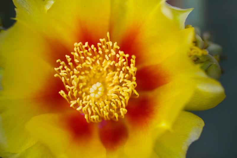 Prickly pear (nopal) flowers