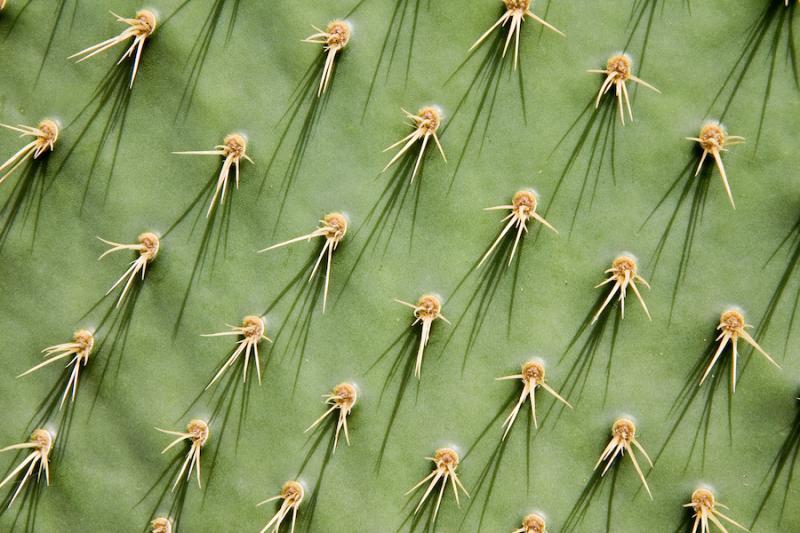 Prickly pear nopal stem needles