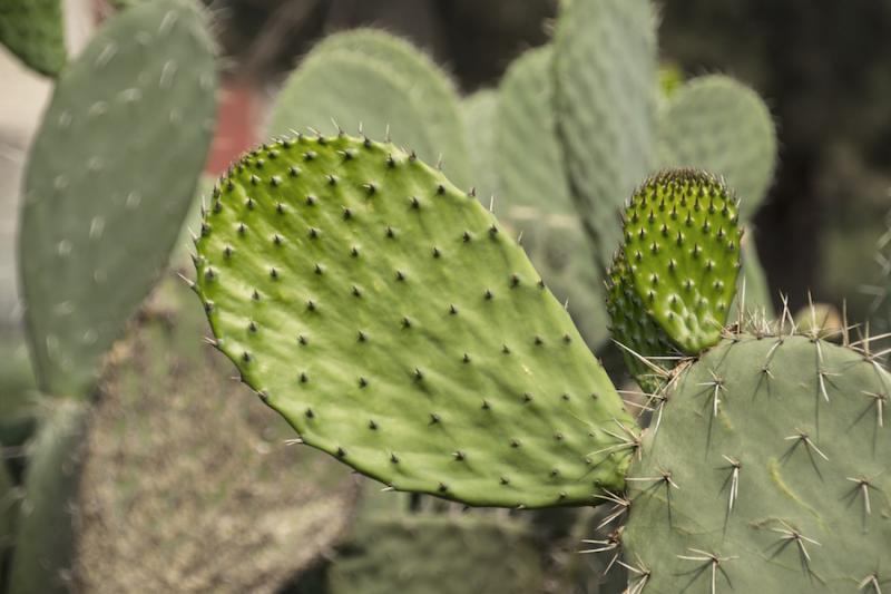 Nopal stems