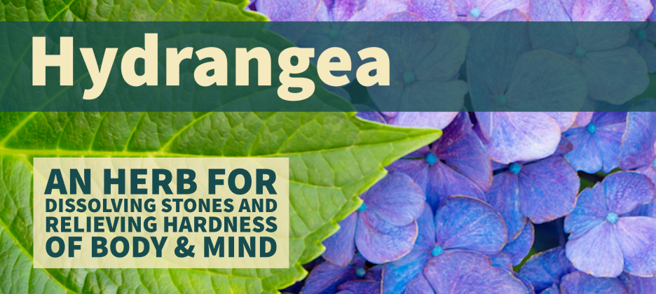 Hydrangea an herb for relieving hardness of the body and mind