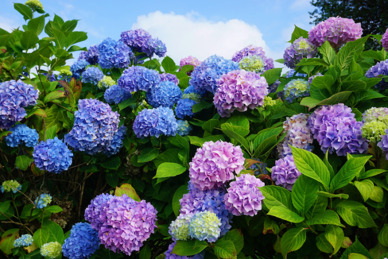 Pink and blue hydrangea blossoms