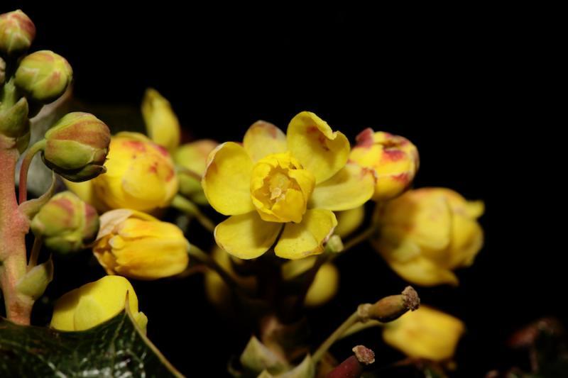 Oregon grape flower close-up