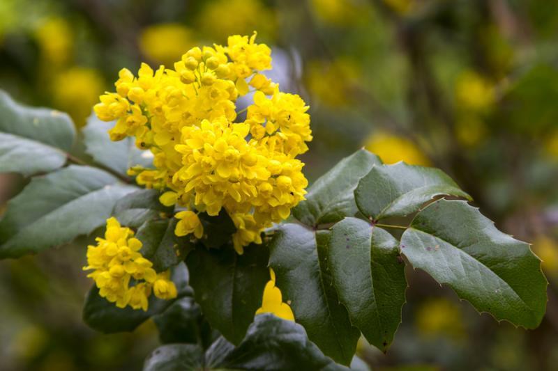 Bright yellow Oregon grape flowers