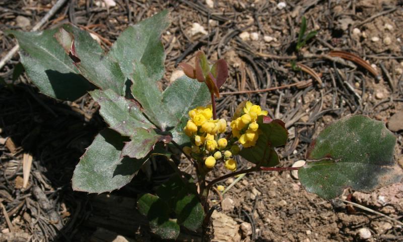 Oregon Grape: Berberis repens by Steven Horne