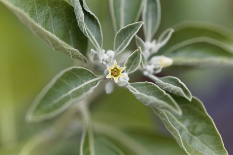 Ashwagandha flowers
