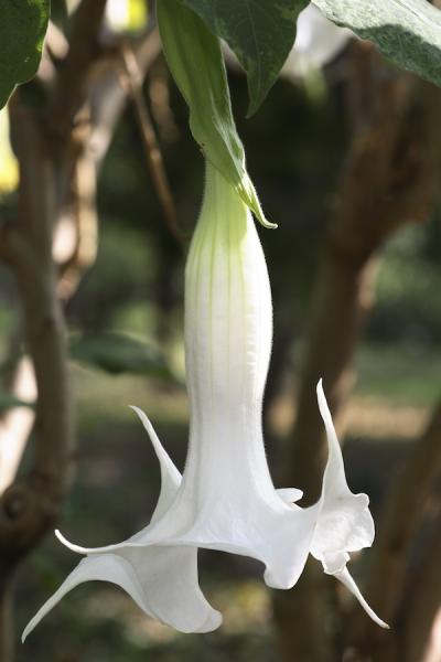 Hanging datura flower from Adobe Stock