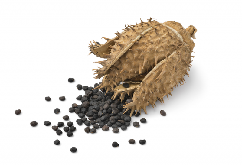 Datura seeds from Adobe Stock