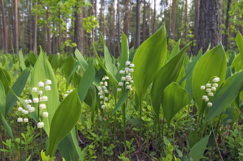 Lily of the valley leaves