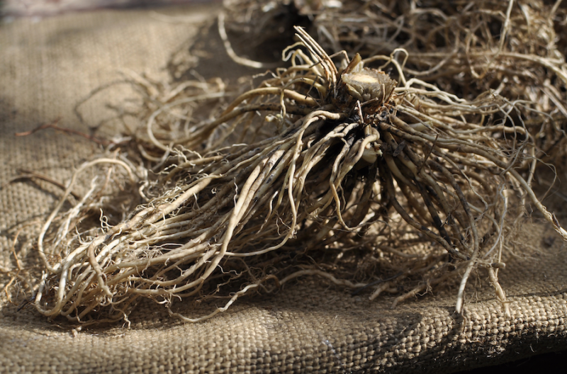 Valerian root from Thinkstock