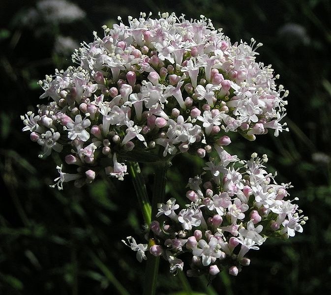 Valerian flowers from Wikipedia Commons