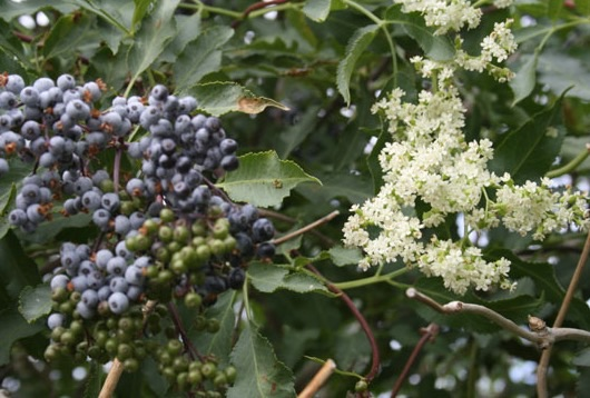 Sambucus caerulea berries and flowers