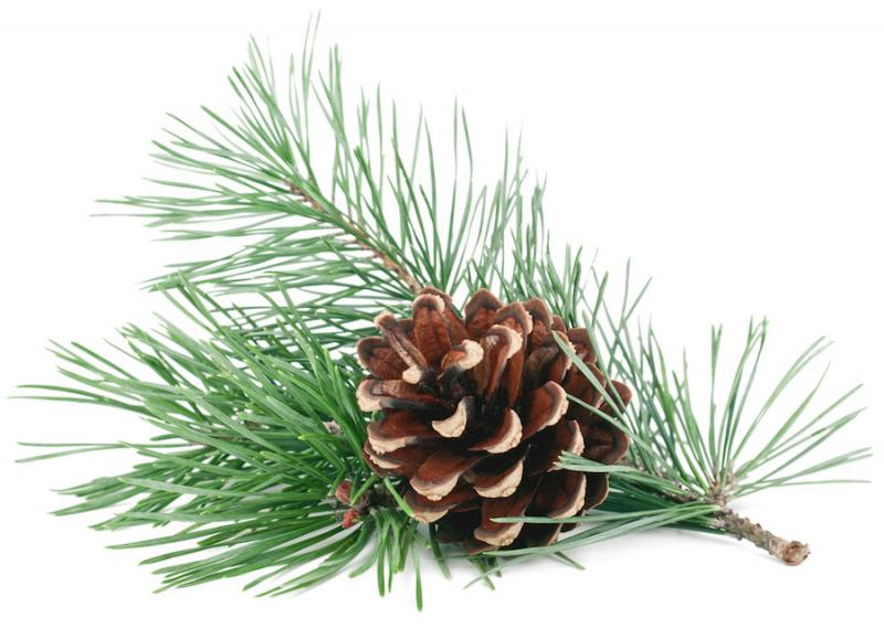 Pine Cone and Branch