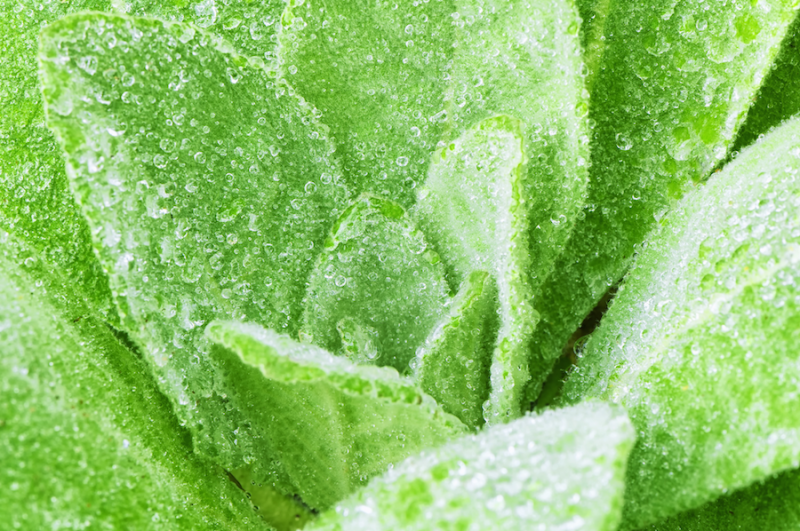 Mullein Leaves from Adobe Stock