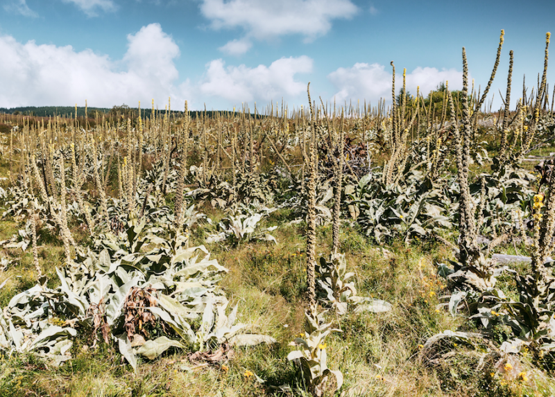 Mullein plants growing in a field from Adobe Stock