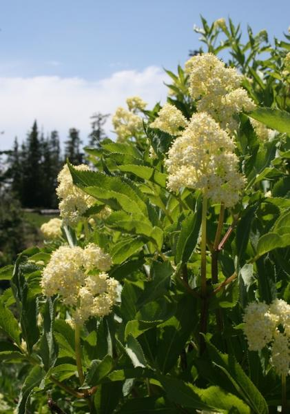 Red Elderberry bush